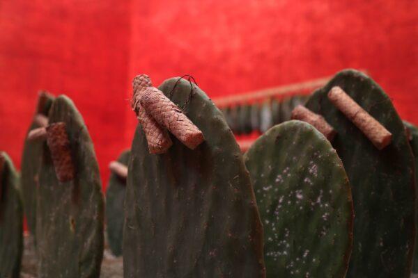 Tania Candiani, Nocheztli. Instalación a partir de 800 pencas de nopal infestadas con grana cochinilla. Las pencas utilizadas en esta instalación provienen del Centro de Difusión para el Conocimiento de la Grana Cochinilla Tlapanocheztli, del maestro Manuel Loera. Cortesía de la artista