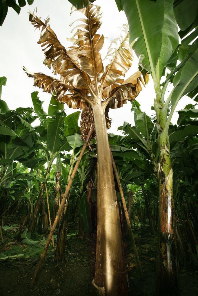 María José Argenzio. 3° 16′ 0″ S, 79° 58′ 0″ W. Proyección de diapositivas. Árbol de banano cubierto en pan de oro. Dimensiones variables. 2010. Imagen cortesía de la artista.